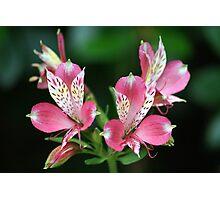 Peruvian Lily Photographic Print
