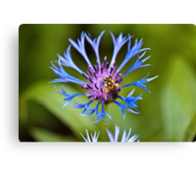 The bee and the Cornflower Canvas Print