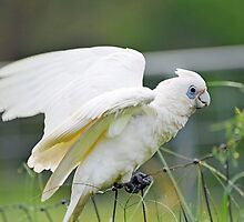 Short Billed Corella In Our Back Paddock. Brisbane, Queensland, Australia  by Ralph de Zilva
