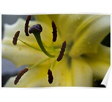 Wet Yellow Lily Poster