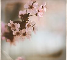 Cherry Blossoms - Spring Square by moonwillow