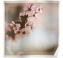 Cherry Blossoms - Spring Square Poster