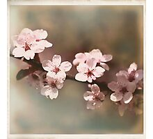 Cherry Blossoms - Spring Square II Photographic Print