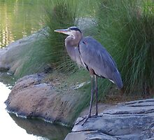 The Great Blue Heron by SgtSciFI