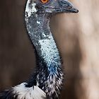 Emu (Dromaius novaehollandiae) by Chris Westinghouse