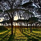 Umbrella pine trees in Strofylia forest by Hercules Milas