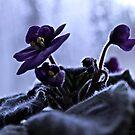 african violets by Desiree Salas