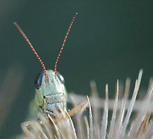 grasshopper by truenorthphoto