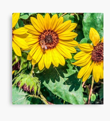 Impressionist Accent Art - Bee on Sunflowers Canvas Print