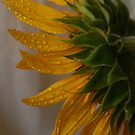 Back... Sunflower, Free State, South Africa by Qnita