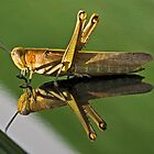 Australian Locust (Chortoicetes terminifera) by Chris Westinghouse