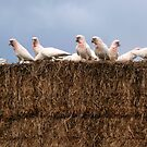 Thieving Birds on the Hay! by Julie Sleeman