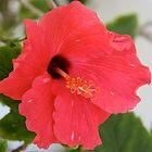Red Hibiscus. by glenlea
