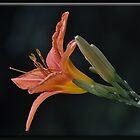 Lily by Sheryl Gerhard