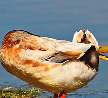 Are You Sure That Duck Quacked??? by Geoff Beck