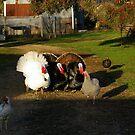 Turkey Inspection by glenisth