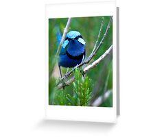 Splendid Wren in Rosemary Greeting Card
