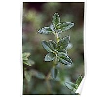 Thyme Poster