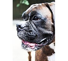 Luthien Out In The Garden -Boxer Dogs Series- Photographic Print