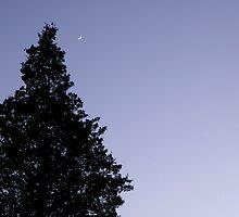 Cedar In The Night by Sharon Woerner