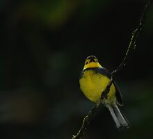 Collared Redstart (Myioborus torquatus) - Costa Rica by Jason Weigner