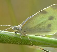 """"""" A Common White Close Up """" by helmutk"""
