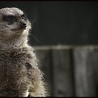 Meerkat by Jennifer Hopkins