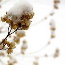 Snow on Hyssop II by Jeannette Sheehy