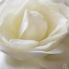 White rose by DigitalTulip