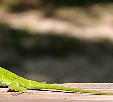 Female Anole Wanted by RebeccaBlackman
