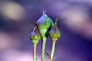 Three Buds by RebeccaBlackman