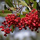 Pyracanthia Berries by Patty (Boyte) Van Hoff