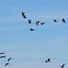 Sandhill Cranes ~ Migratory  by Kimberly Chadwick