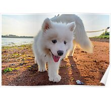 Samoyed puppy on the beach  Poster