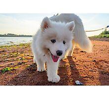 Samoyed puppy on the beach  Photographic Print