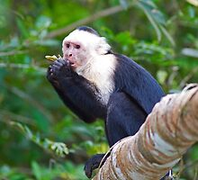 Special White-faced Capuchin by cute-wildlife