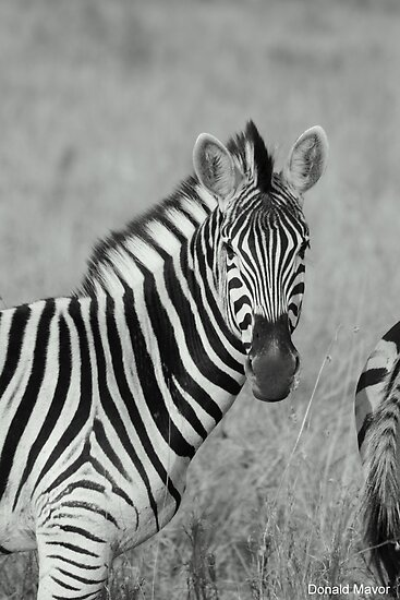 Stripes by Donald  Mavor