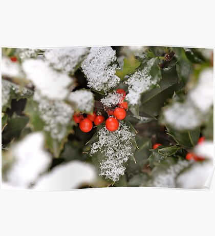 Snow-covered holly Poster
