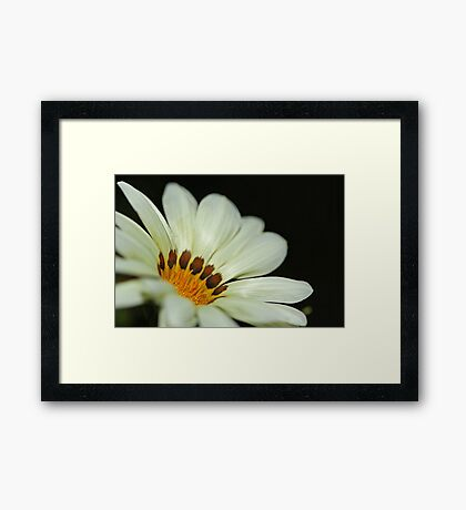 White Gazania Framed Print