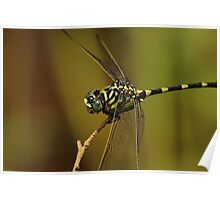 Green and Yellow Dragonfly Poster