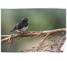 Baby Wagtail Poster