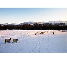Sheep in the Snow Photographic Print