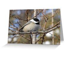 Chickadee- Poecile atricapilla Greeting Card