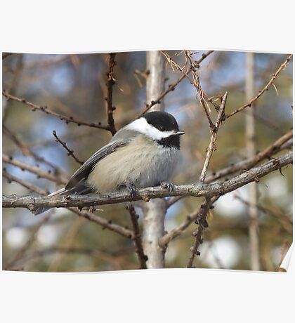 Chickadee- Poecile atricapilla Poster