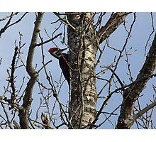 Pileated Woodpecker- Dryocopus pileatus Photographic Print