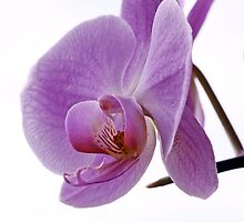 Mauve Orchid by OpalFire