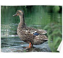 Duck at Cauldwells Mill Poster