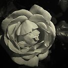 In Full Bloom by sarnia2