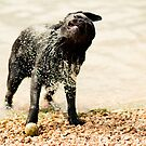 Retriever Shake by Leanne Graham