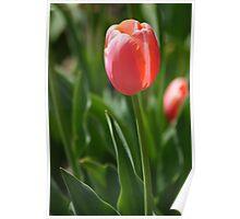 Pink Tulip Poster